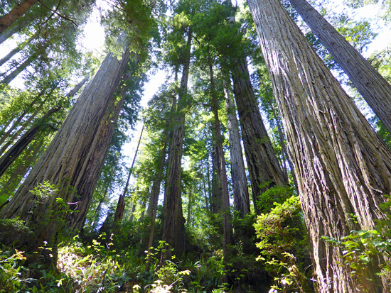 Ancient redwood groves on the Clintonia Trail